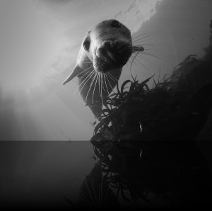 Diving seal, Farne Islands, photo by Farne Island Divers
